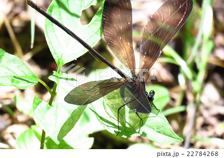 昆虫「ハグロトンボ」淀川河川敷:大阪府枚方市 22784268