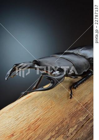 国産オオクワガタの樹木の上で 黒バックの写真素材 [22787137] - PIXTA
