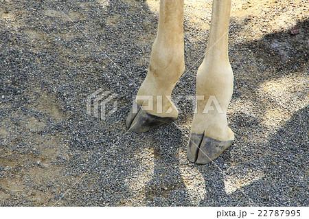 キリンの足・蹄 22787995