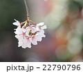 枝垂れ桜 22790796