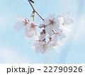 しだれ桜 22790926