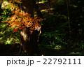 紅葉 もみじ 光の写真 22792111