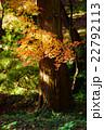 紅葉 もみじ 光の写真 22792113