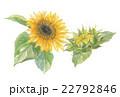 ひまわり 向日葵 花のイラスト 22792846