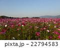 奈良藤原京跡のコスモス畑 22794583