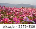 奈良藤原京跡のコスモス畑 22794589