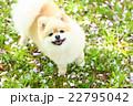 犬 ポメラニアン 散歩の写真 22795042