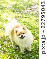 犬 ポメラニアン 散歩の写真 22795043