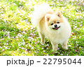 犬 ポメラニアン 散歩の写真 22795044
