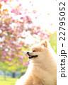 犬 ポメラニアン 散歩の写真 22795052