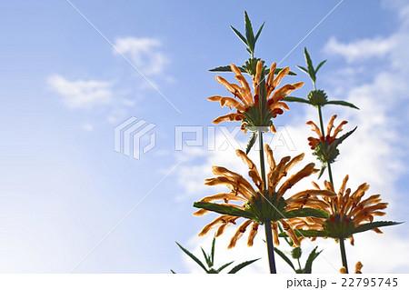 オレンジ色のハーブ ライオンズテール ハーブ 22795745