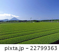 開聞岳と茶畑(鹿児島県南九州市頴娃町) 22799363
