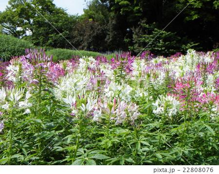 咲き始めた矮性のクレモナの白色と桃色の花 22808076