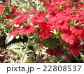 梅雨の晴れ間の日差しを浴びて赤く咲く花バーベナの花 22808537
