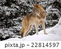 雪の上のオオカミ 22814597