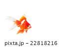 金魚02 22818216