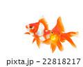 金魚03 22818217