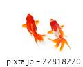 金魚06 22818220