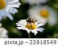花 マーガレット 蜂の写真 22818549