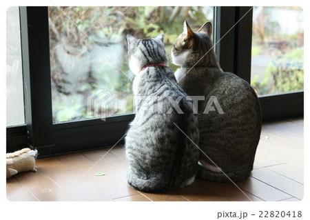 のんびり猫 22820418