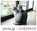 のんびり猫 22820419