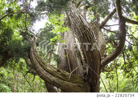 秋田県大仙市 ばっけ杉(おばけ杉) 杉の巨木(超広角撮影) 22820734