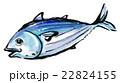 筆描き 水彩 鰹のイラスト 22824155