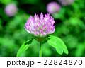 マメ科 赤詰草 紫詰草の写真 22824870