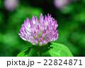 マメ科 赤詰草 紫詰草の写真 22824871