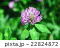 マメ科 赤詰草 紫詰草の写真 22824872