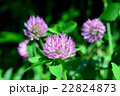 マメ科 赤詰草 紫詰草の写真 22824873