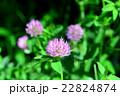 マメ科 赤詰草 紫詰草の写真 22824874