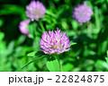 マメ科 赤詰草 紫詰草の写真 22824875