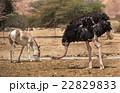 動物 だちょう ダチョウの写真 22829833