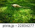 芝生の上で休むイグアナ 22834277