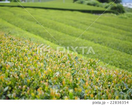 静岡県のお茶畑 22836354
