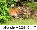 鹿 子鹿 母鹿の写真 22840447