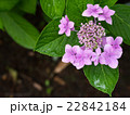 雨上がりの濡れた紫陽花(右寄せ) 22842184