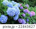 飛鳥山公園の紫陽花 22843627
