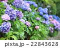 飛鳥山公園の紫陽花 22843628