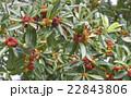 山桃 果実 実りの写真 22843806