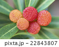 山桃 果実 実りの写真 22843807