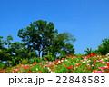 国営讃岐まんのう公園のポピー 22848583