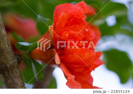 柘榴(ざくろ)の花言葉は「円熟した優雅さ」の写真素材
