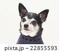 セーターを着たチワワ 22855593