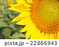 Beautiful closed up yellow sunflower 22866943