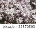 フラワー 花 モクレンの写真 22870503
