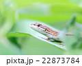 ニホンカナヘビ 22873784