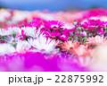 リビングストンデイジー デイジー 花の写真 22875992