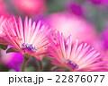リビングストンデイジー 花 植物の写真 22876077